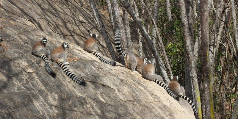 Ring-tailed lemurs sitting on a rock.