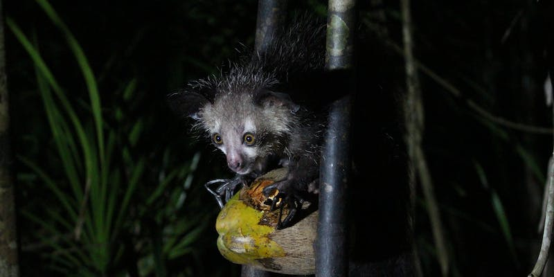 An aye-aye enjoying a coconut.