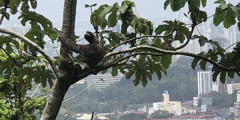 A sloth in a tree with Panama City in the background.