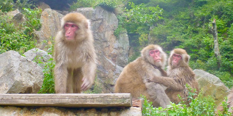 Snow monkeys.